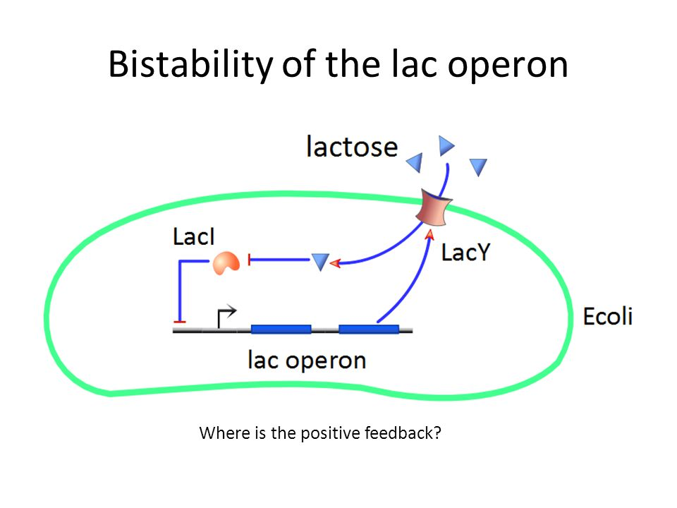 Bistability of the lac operon Where is the positive feedback?