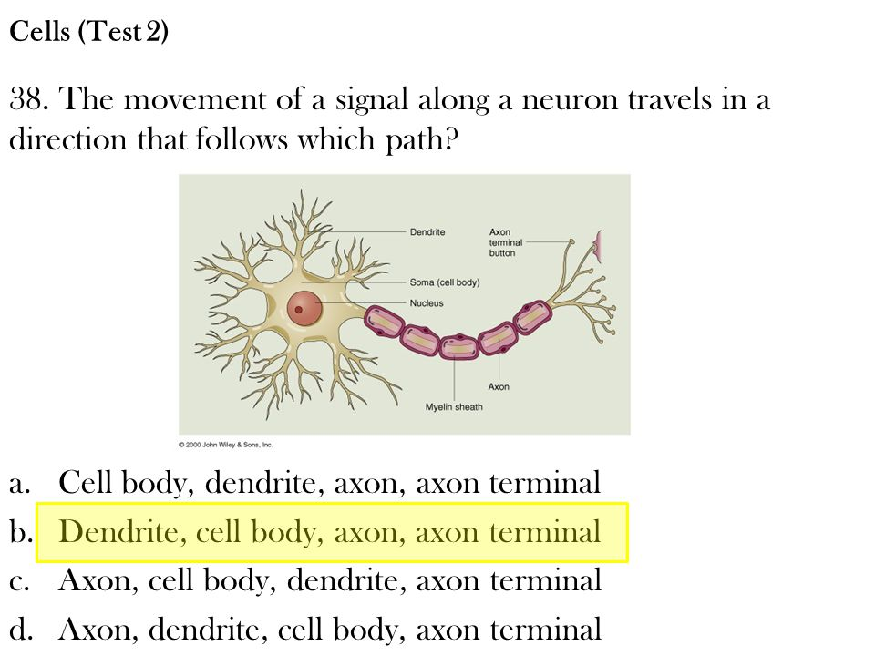 38. The movement of a signal along a neuron travels in a direction that follows which path? a.Cell body, dendrite, axon, axon terminal b.Dendrite, cel