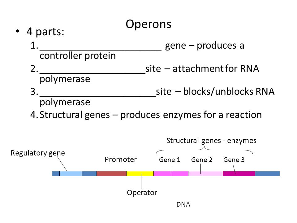 Operons 4 parts: 1._______________________ gene – produces a controller protein 2.____________________site – attachment for RNA polymerase 3._________