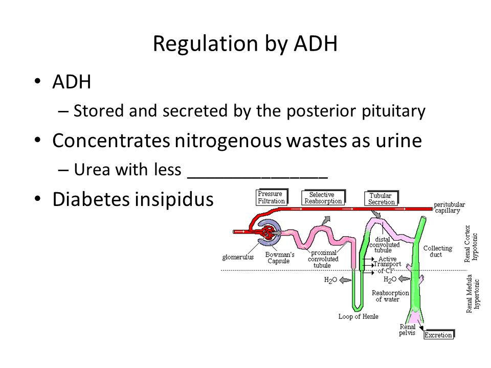 Regulation by ADH ADH – Stored and secreted by the posterior pituitary Concentrates nitrogenous wastes as urine – Urea with less _______________ Diabe