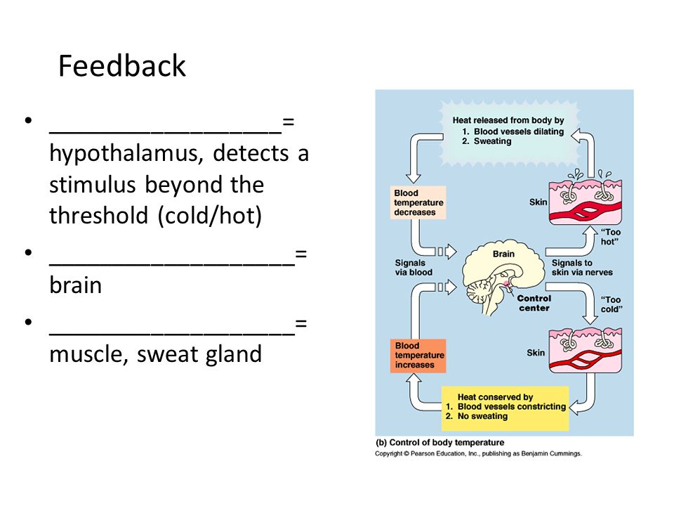 Feedback __________________= hypothalamus, detects a stimulus beyond the threshold (cold/hot) ___________________= brain ___________________= muscle,