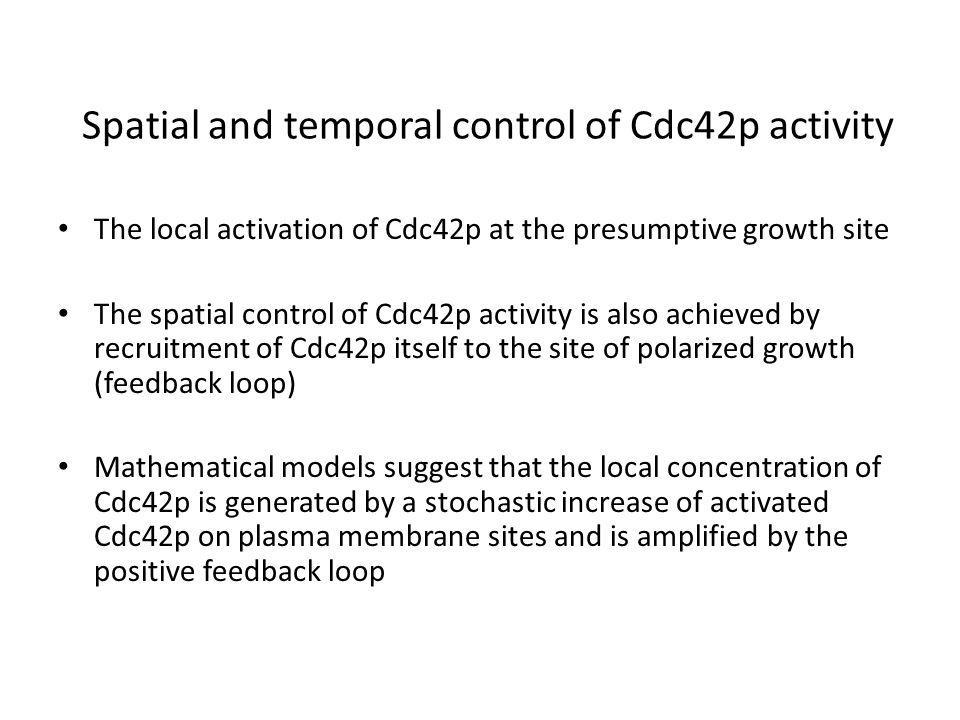 Spatial and temporal control of Cdc42p activity The local activation of Cdc42p at the presumptive growth site The spatial control of Cdc42p activity is also achieved by recruitment of Cdc42p itself to the site of polarized growth (feedback loop) Mathematical models suggest that the local concentration of Cdc42p is generated by a stochastic increase of activated Cdc42p on plasma membrane sites and is amplified by the positive feedback loop