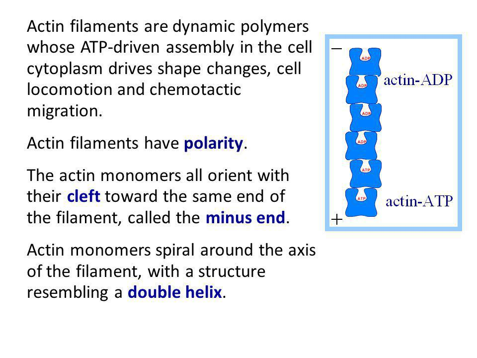 Actin filaments are dynamic polymers whose ATP-driven assembly in the cell cytoplasm drives shape changes, cell locomotion and chemotactic migration.