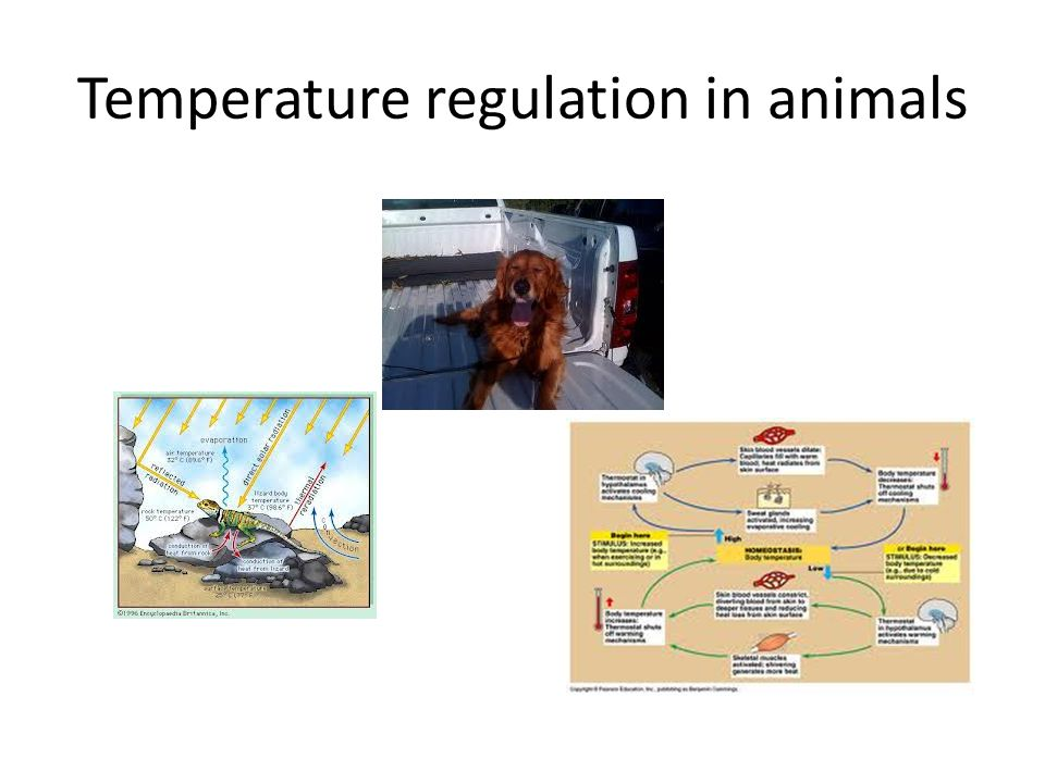 Temperature regulation in animals