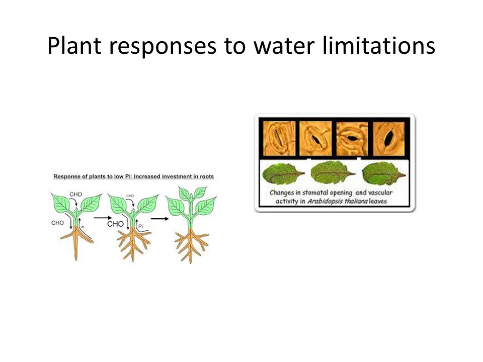 Plant responses to water limitations