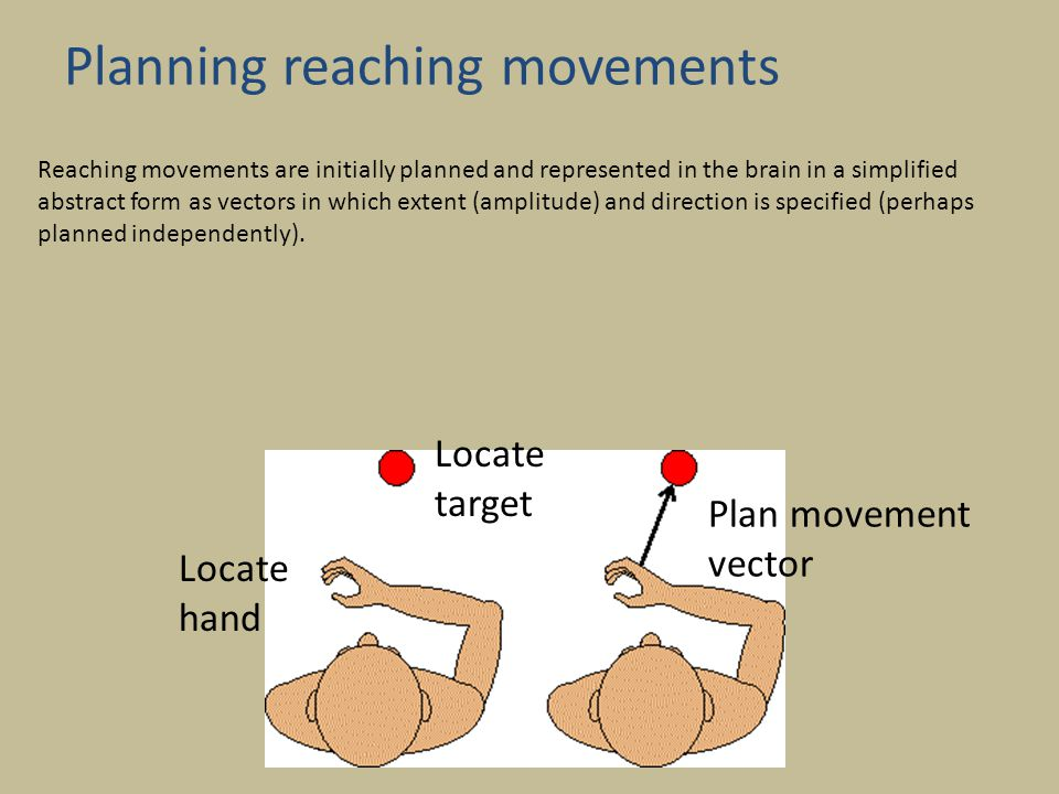 Planning reaching movements Reaching movements are initially planned and represented in the brain in a simplified abstract form as vectors in which ex