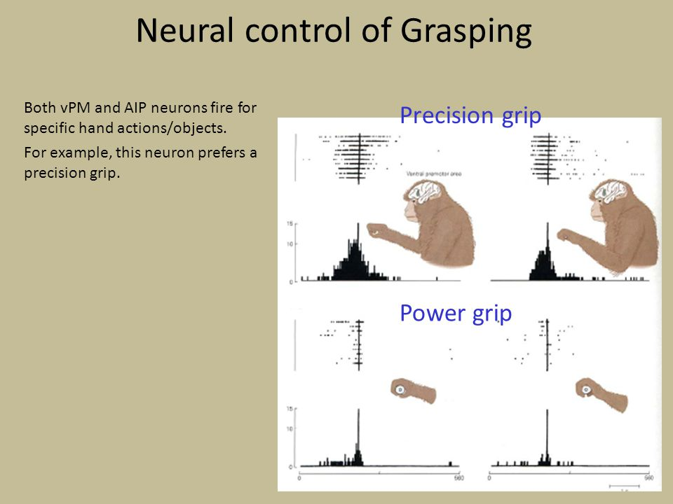 Neural control of Grasping Both vPM and AIP neurons fire for specific hand actions/objects. For example, this neuron prefers a precision grip. Precisi