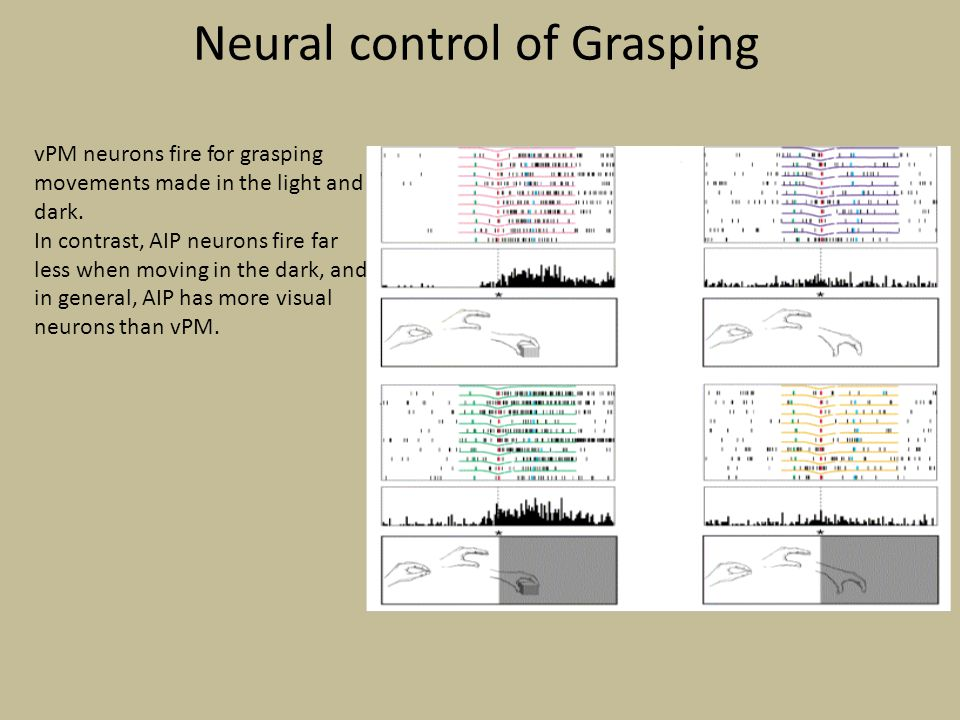 Neural control of Grasping vPM neurons fire for grasping movements made in the light and dark. In contrast, AIP neurons fire far less when moving in t