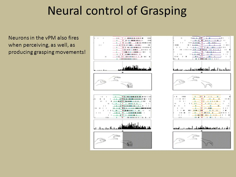 Neural control of Grasping Neurons in the vPM also fires when perceiving, as well, as producing grasping movements!