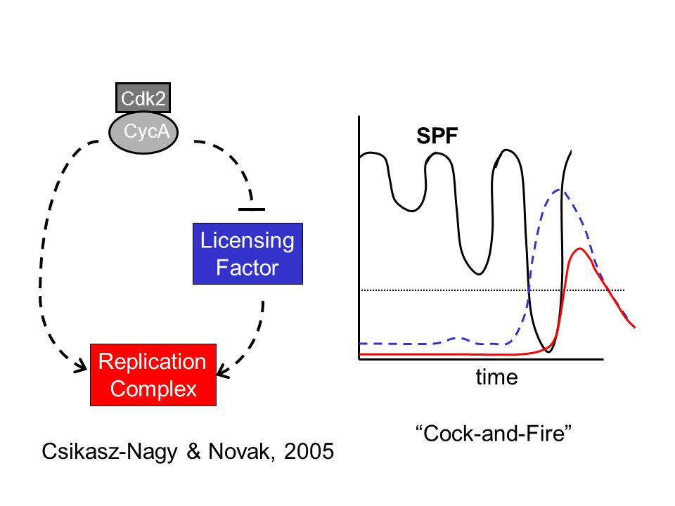 Cdk2 CycA Licensing Factor Replication Complex time Csikasz-Nagy & Novak, 2005 SPF Cock-and-Fire