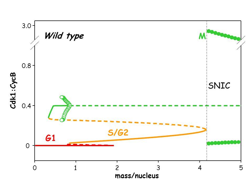 012345 0 0.4 0.8 3.0 mass/nucleus Cdk1:CycB G1 S/G2 M Wild type SNIC
