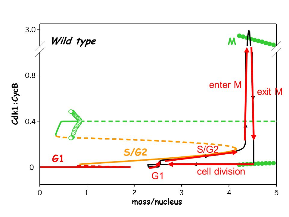 012345 0 0.4 0.8 3.0 mass/nucleus Cdk1:CycB G1 S/G2 M Wild type cell division G1 S/G2 enter M exit M