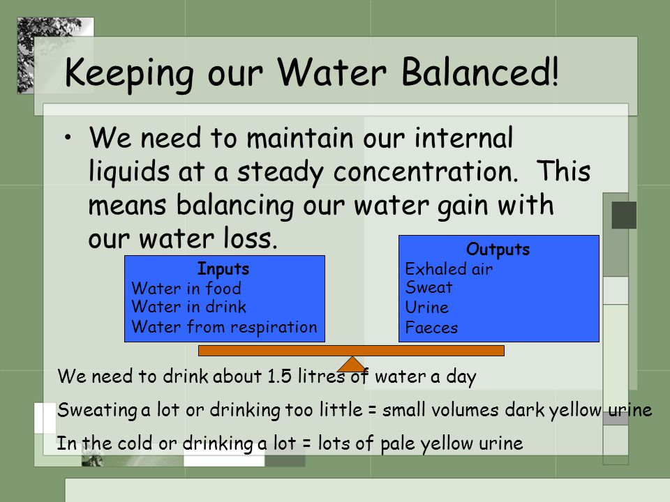 Keeping our Water Balanced! We need to maintain our internal liquids at a steady concentration. This means balancing our water gain with our water los