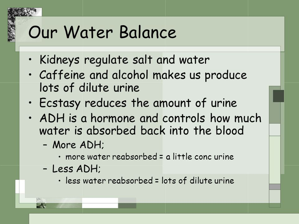 Our Water Balance Kidneys regulate salt and water Caffeine and alcohol makes us produce lots of dilute urine Ecstasy reduces the amount of urine ADH i