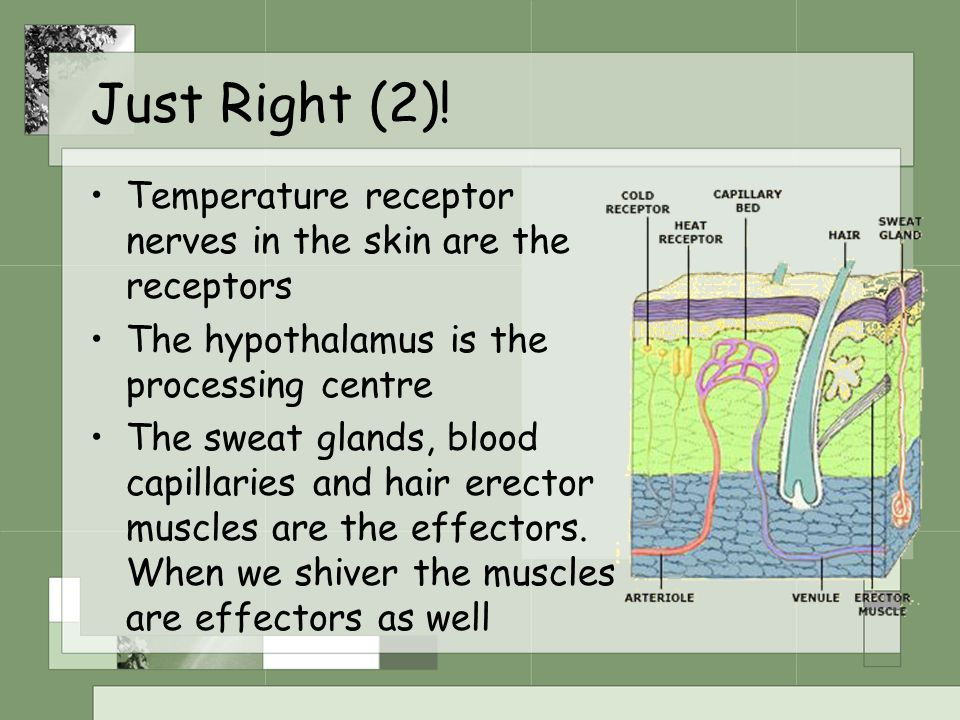 Just Right (2)! Temperature receptor nerves in the skin are the receptors The hypothalamus is the processing centre The sweat glands, blood capillarie