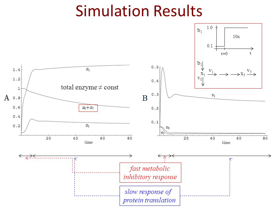Simulation Results total enzyme const slow response of protein translation fast metabolic inhibitory response x1x1 x5x5 b1b1 v0v0 v1v1 v5v5 10x 1.0 0.