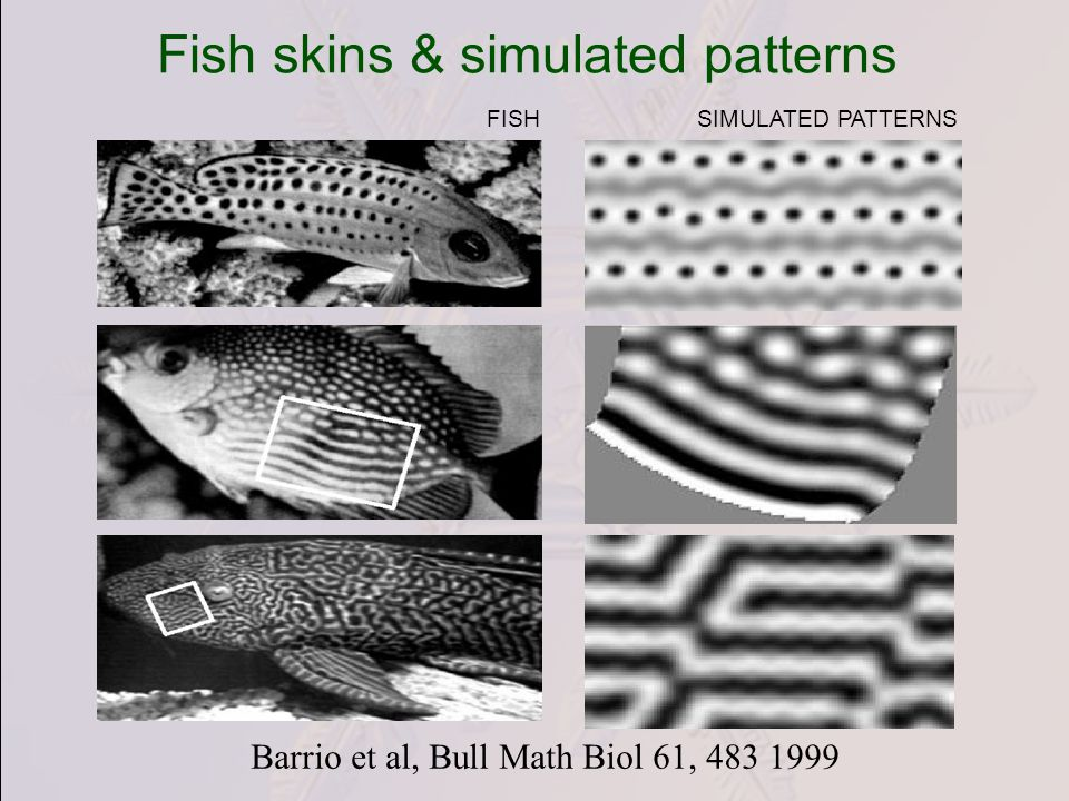 Fish skins & simulated patterns Barrio et al, Bull Math Biol 61, 483 1999 FISHSIMULATED PATTERNS