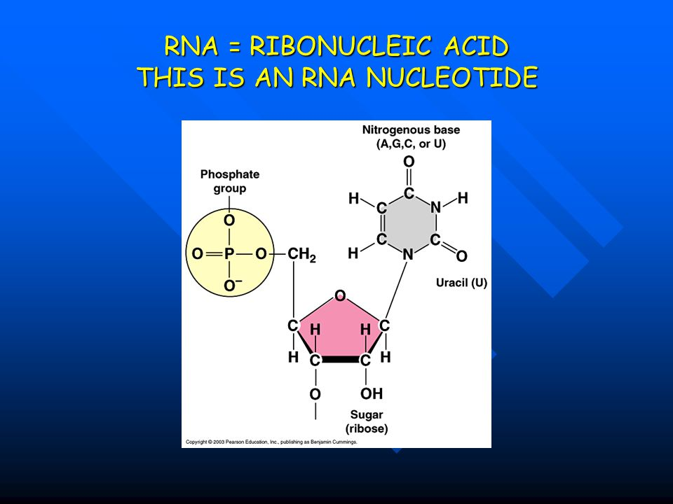 RNA = RIBONUCLEIC ACID THIS IS AN RNA NUCLEOTIDE