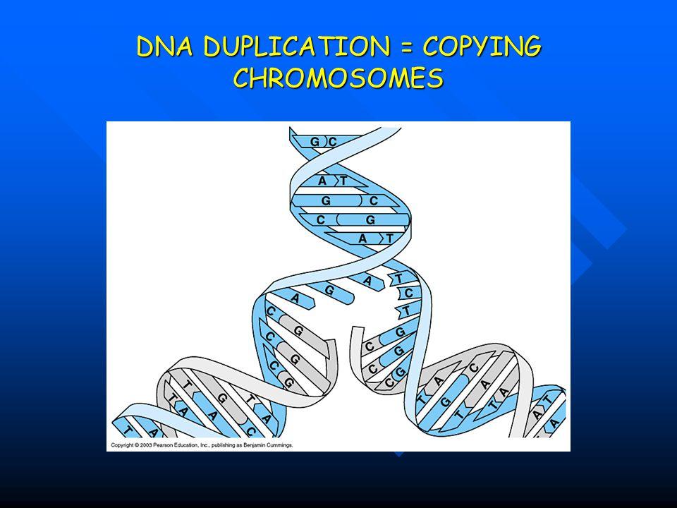 DNA DUPLICATION = COPYING CHROMOSOMES