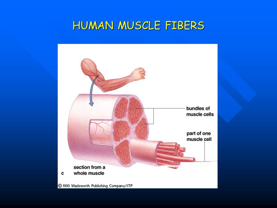 HUMAN MUSCLE FIBERS