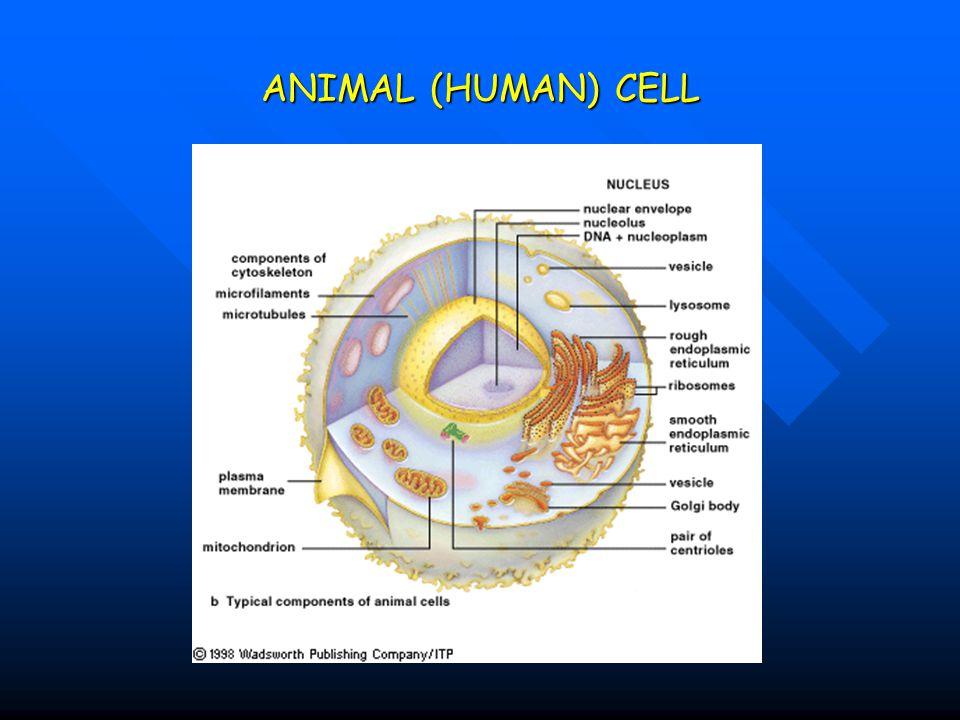 ANIMAL (HUMAN) CELL