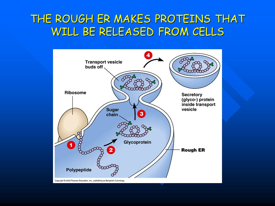 THE ROUGH ER MAKES PROTEINS THAT WILL BE RELEASED FROM CELLS