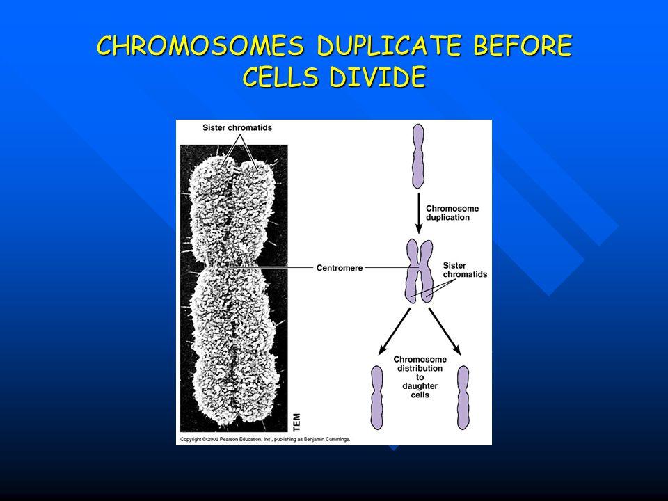 CHROMOSOMES DUPLICATE BEFORE CELLS DIVIDE