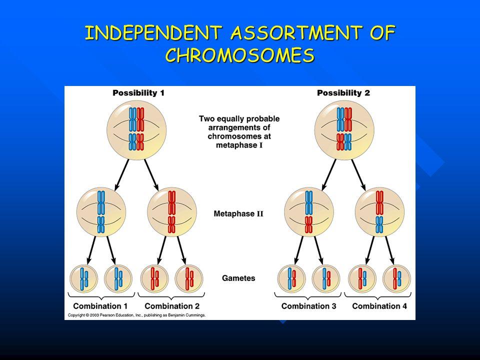 INDEPENDENT ASSORTMENT OF CHROMOSOMES