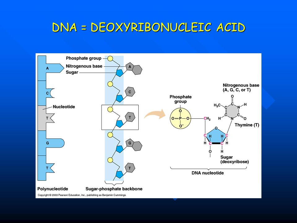 DNA = DEOXYRIBONUCLEIC ACID