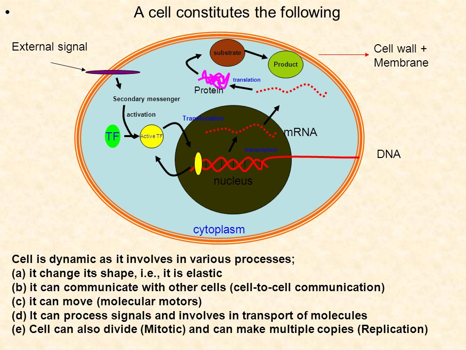 A cell constitutes the following cytoplasm nucleus DNA Cell wall + Membrane Cell is dynamic as it involves in various processes; (a) it change its shape, i.e., it is elastic (b) it can communicate with other cells (cell-to-cell communication) (c) it can move (molecular motors) (d) It can process signals and involves in transport of molecules (e) Cell can also divide (Mitotic) and can make multiple copies (Replication) mRNA substrate Product Active TF TF External signal Secondary messenger activation Translocation transcription translation Protein