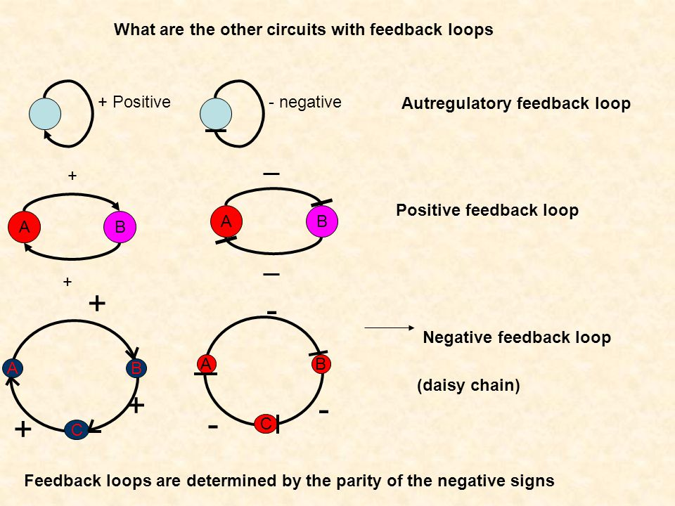 What are the other circuits with feedback loops + Positive- negative Autregulatory feedback loop AB + + AB Positive feedback loop + + B C A + - B C A - - Negative feedback loop Feedback loops are determined by the parity of the negative signs (daisy chain)