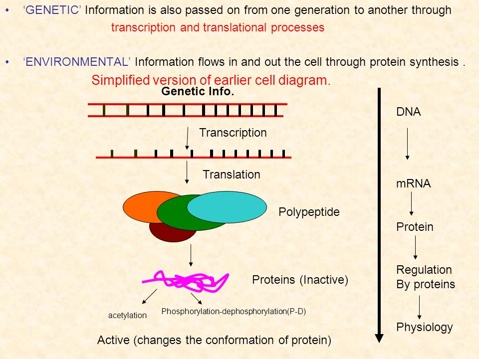 GENETIC Information is also passed on from one generation to another through transcription and translational processes ENVIRONMENTAL Information flows in and out the cell through protein synthesis.