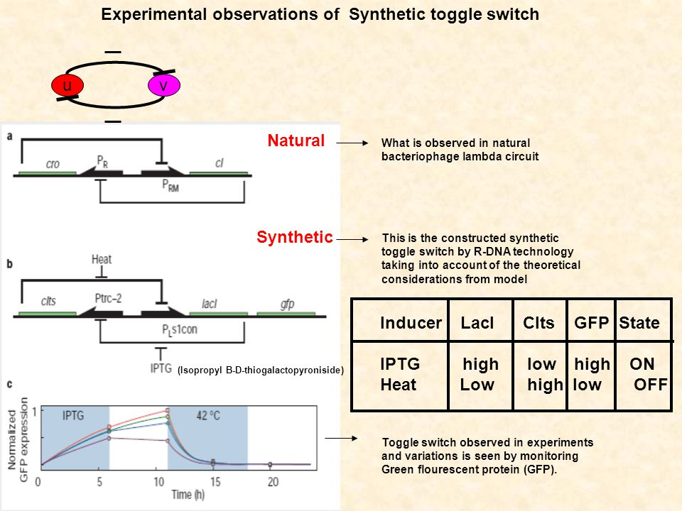 uv Natural Synthetic Experimental observations of Synthetic toggle switch What is observed in natural bacteriophage lambda circuit This is the constructed synthetic toggle switch by R-DNA technology taking into account of the theoretical considerations from model Toggle switch observed in experiments and variations is seen by monitoring Green flourescent protein (GFP).