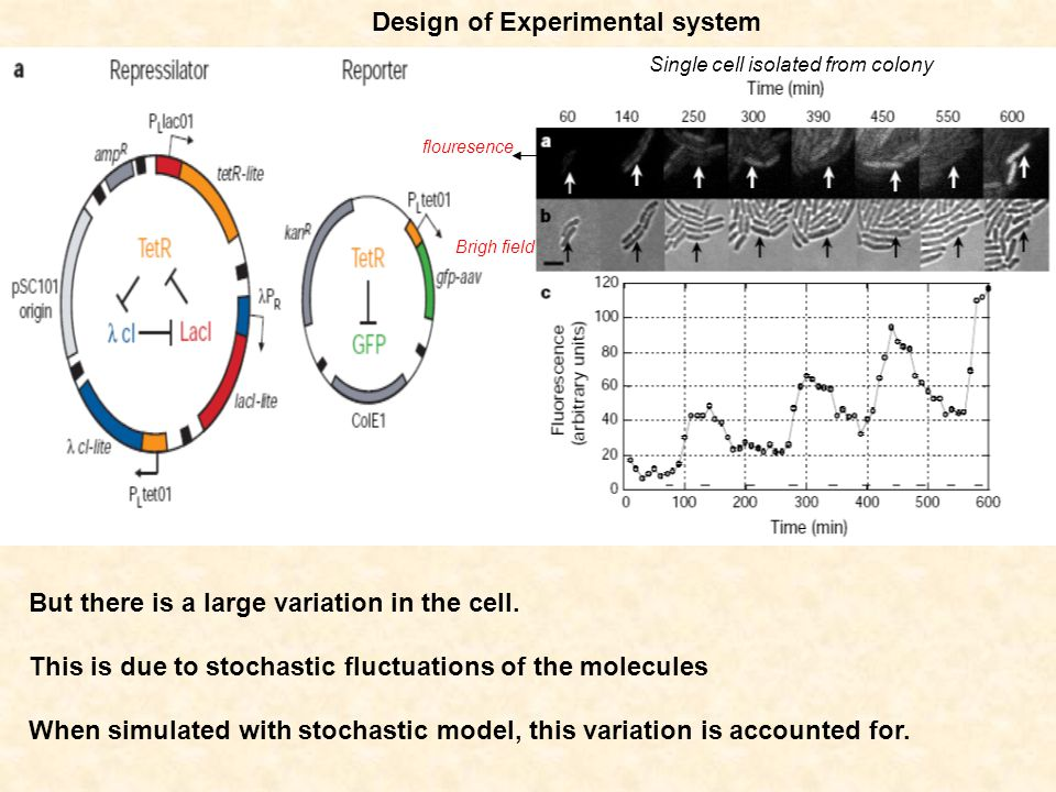 Design of Experimental system But there is a large variation in the cell. This is due to stochastic fluctuations of the molecules When simulated with