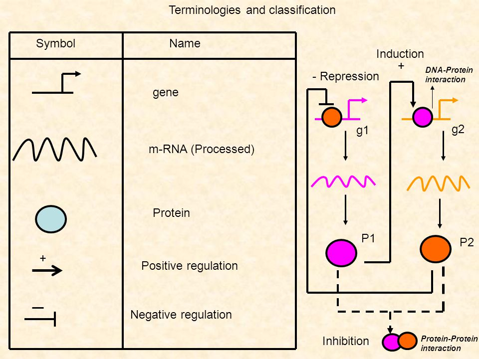Terminologies and classification gene Symbol Name m-RNA (Processed) Protein Positive regulation + Negative regulation + Induction - Repression g1 g2 P
