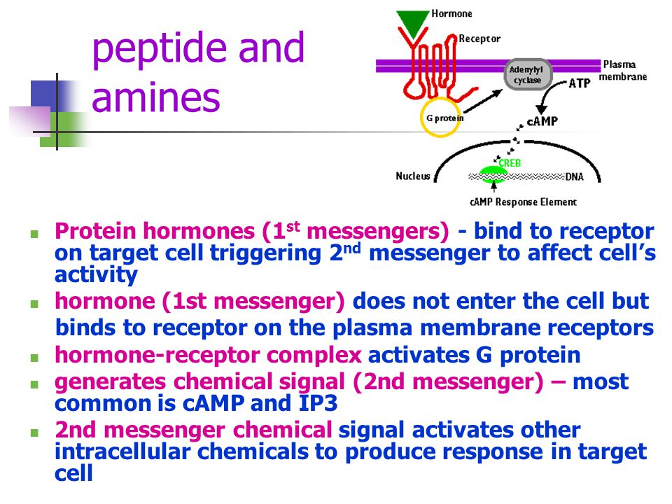 peptide and amines Protein hormones (1 st messengers) - bind to receptor on target cell triggering 2 nd messenger to affect cells activity hormone (1s