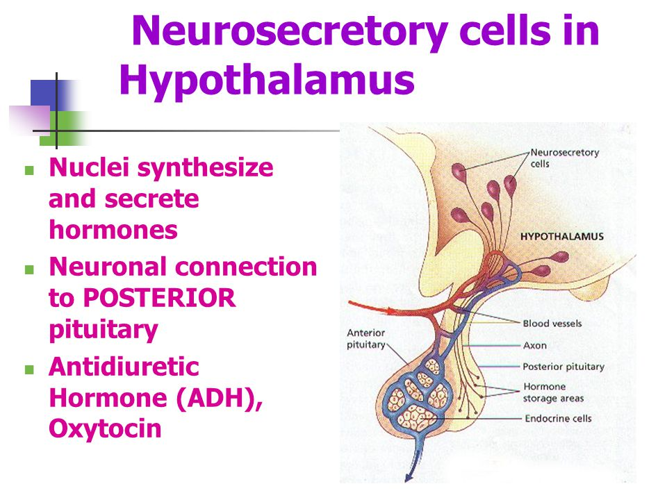 Neurosecretory cells in Hypothalamus Nuclei synthesize and secrete hormones Neuronal connection to POSTERIOR pituitary Antidiuretic Hormone (ADH), Oxy