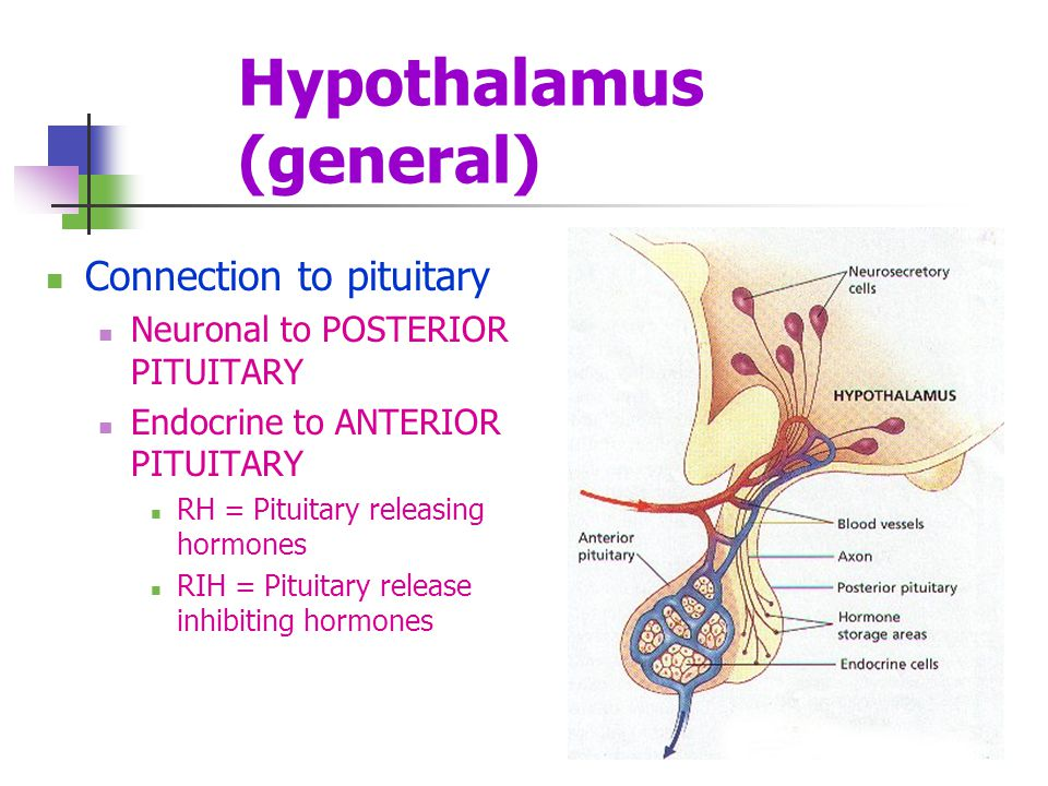 Hypothalamus (general) Connection to pituitary Neuronal to POSTERIOR PITUITARY Endocrine to ANTERIOR PITUITARY RH = Pituitary releasing hormones RIH =