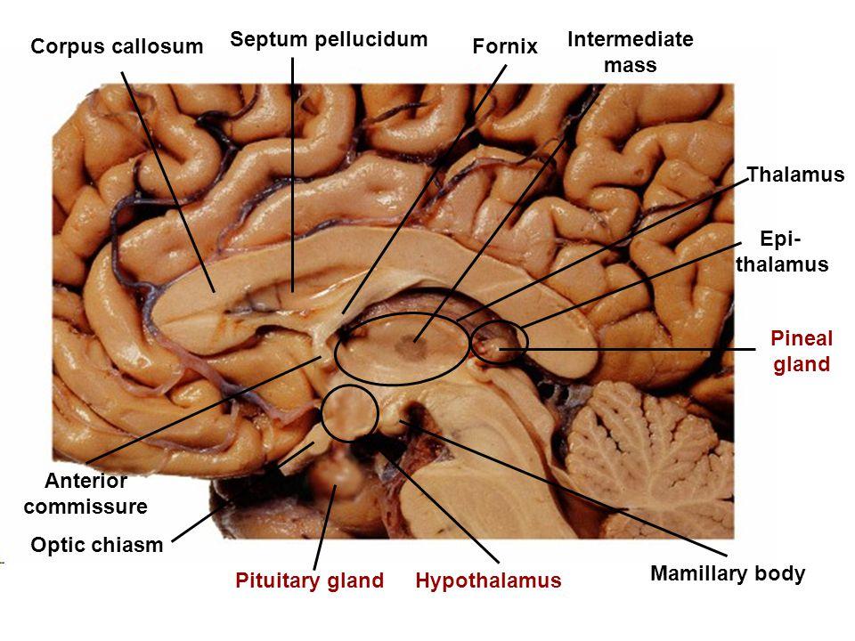 Corpus callosum Septum pellucidum Fornix Pineal gland Anterior commissure Thalamus Intermediate mass Hypothalamus Mamillary body Optic chiasm Pituitar