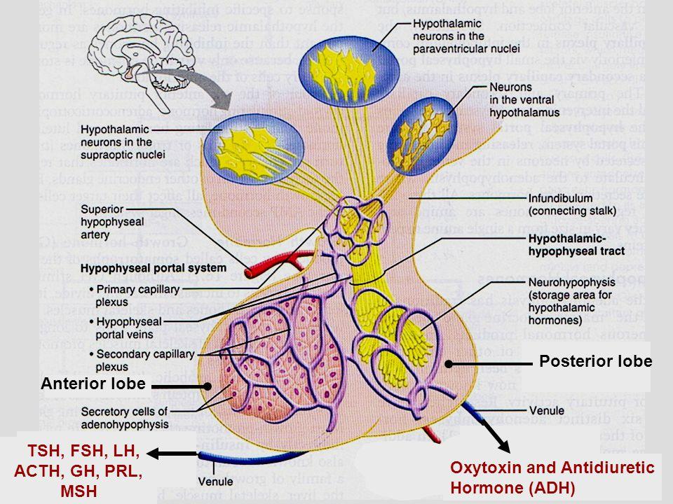 TSH, FSH, LH, ACTH, GH, PRL, MSH Oxytoxin and Antidiuretic Hormone (ADH) Posterior lobe Anterior lobe
