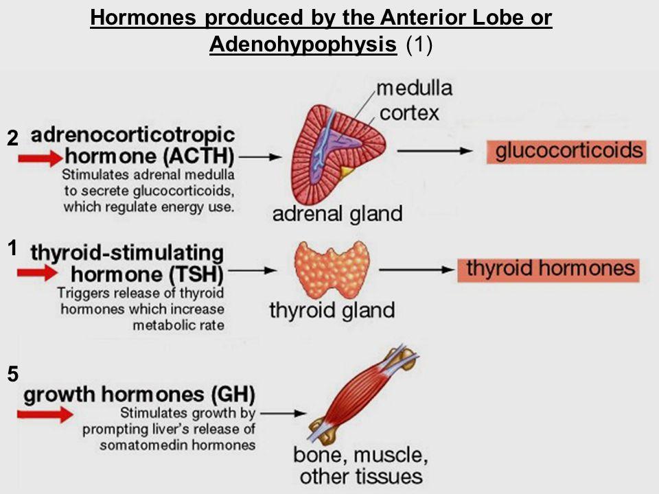 Hormones produced by the Anterior Lobe or Adenohypophysis (1) 2 1 5