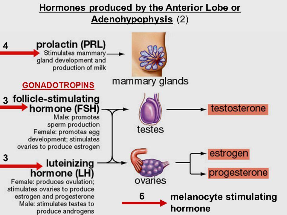 Hormones produced by the Anterior Lobe or Adenohypophysis (2) melanocyte stimulating hormone 4 3 3 6 GONADOTROPINS