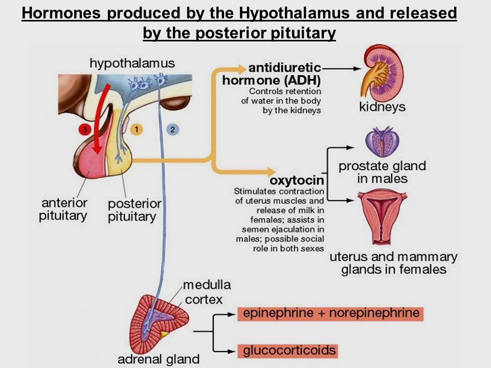 Hormones produced by the Hypothalamus and released by the posterior pituitary