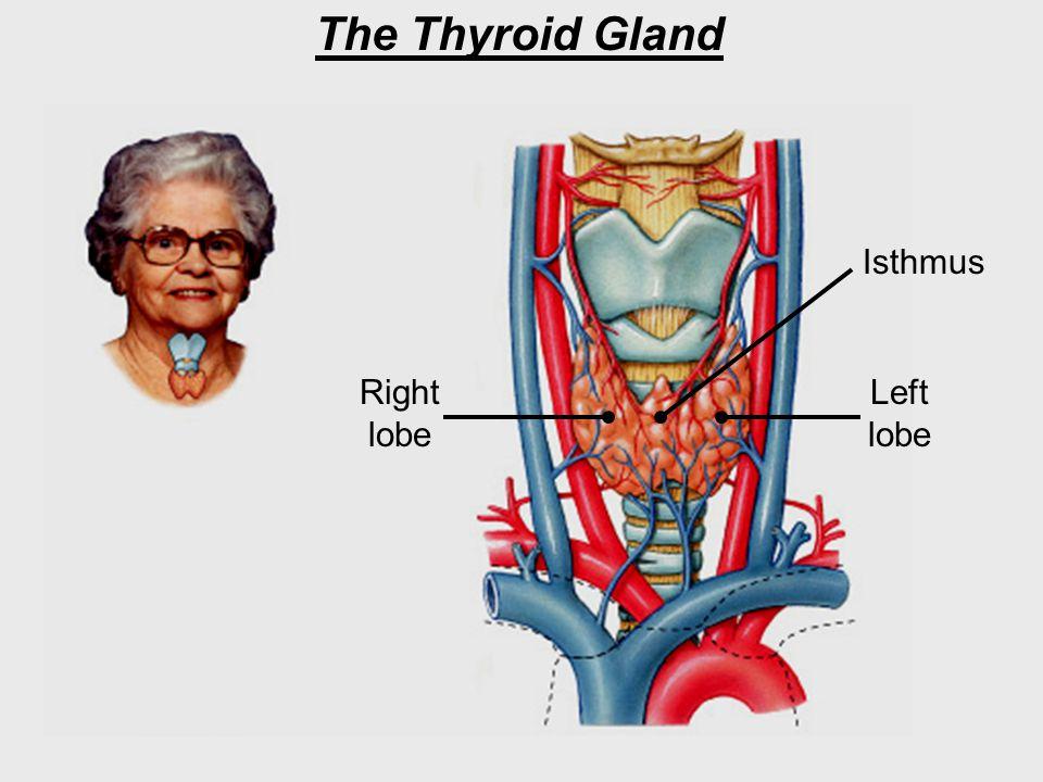 The Thyroid Gland Right lobe Left lobe Isthmus