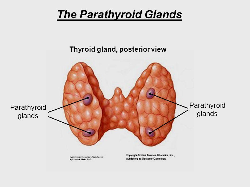 The Parathyroid Glands Thyroid gland, posterior view Parathyroid glands
