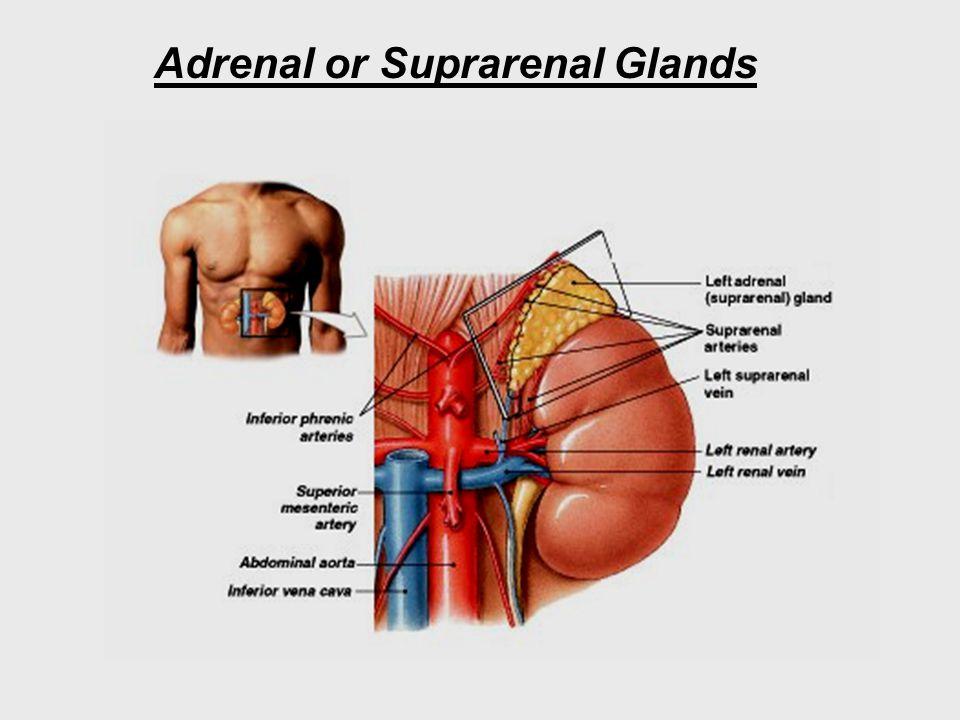 Adrenal or Suprarenal Glands