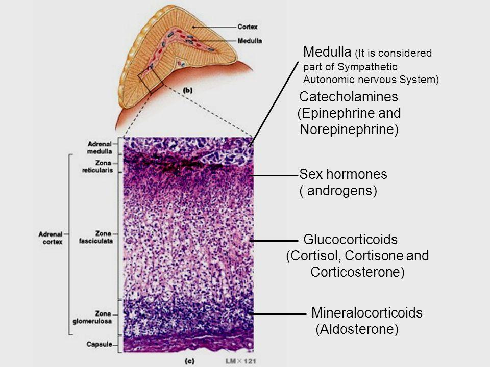 Mineralocorticoids (Aldosterone) Glucocorticoids (Cortisol, Cortisone and Corticosterone) Sex hormones ( androgens) Medulla (It is considered part of