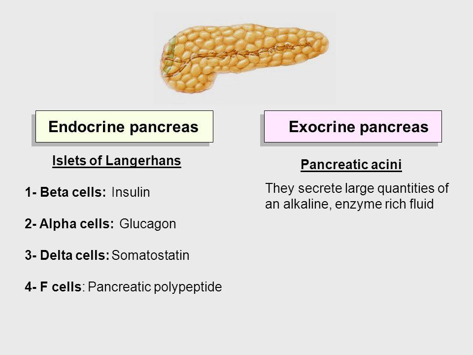 Endocrine pancreasExocrine pancreas Pancreatic acini They secrete large quantities of an alkaline, enzyme rich fluid Islets of Langerhans 1- Beta cell