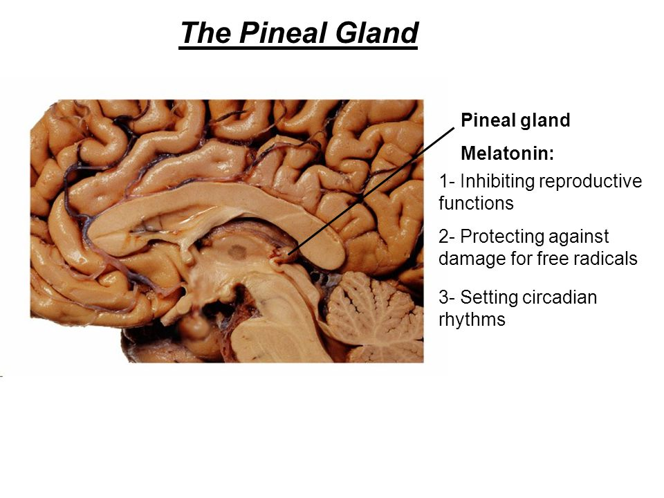 The Pineal Gland Melatonin: Pineal gland 1- Inhibiting reproductive functions 2- Protecting against damage for free radicals 3- Setting circadian rhyt