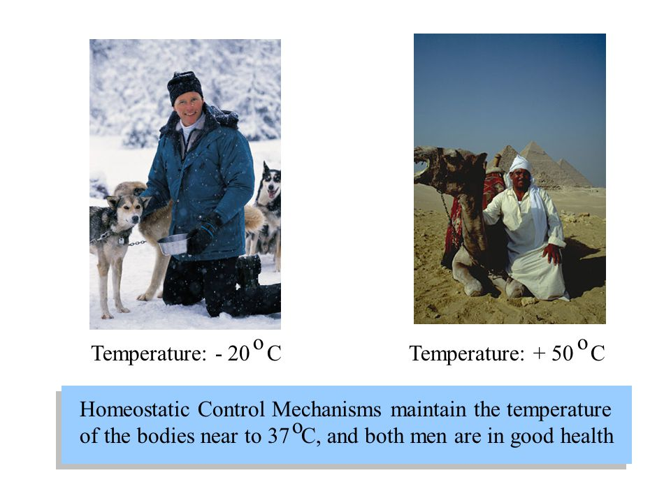 Temperature: - 20 C Temperature: + 50 C o o Homeostatic Control Mechanisms maintain the temperature of the bodies near to 37 C, and both men are in go